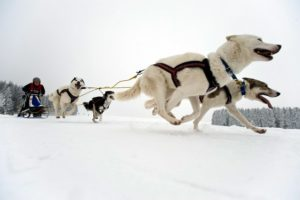 Dog pulling with chest harness